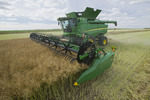 a combine harvester straight cuts in a  mature standing field of canola during the harvest