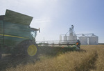 a combine harvester straight cuts in a  mature standing field of canola  near a farmer's inland terminal  during the harvest