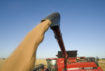 a combine augers spring wheat into a farm truck during the harvest, near Dugald, Manitoba, Canada