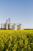 a bloom stage canola field with a farmer's inland grain terminal in the background, Niverville,  Manitoba, Canada