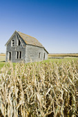 abandoned farm house, corn field near Beausejour, Manitoba, Canada