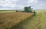 a combine harvester straight cuts in a  mature standing field of canola during the harvest , near Niverville, Manitoba, Canada