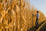a man with a tablet  examines a harvest ready grain/feed corn field near Niverville, Manitoba, Canada