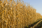 a field of mature, harvest ready grain/feed corn, near Niverville, Manitoba, Canada