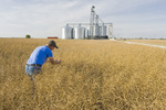 a man scouts a field of mature, harvest ready canola with a farmer's inland grain terminal in the background, near niverville, Manitoba, Canada