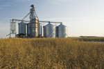mature, harvest ready canola field with a farmer's inland grain terminal in the background, Niverville,  Manitoba, Canada
