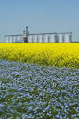 flowering flax field and canola with an inland grain terminal in the background Rathwell, Manitoba, Canada