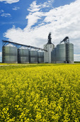 bloom stage canola field with inland grain terminal in the background, Morris, Manitoba, Canada