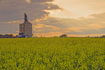 a blooming canola field with an inland grain terminal in the background, near Elva, Manitoba, Canada