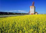 bloom stage canola field, inland grain terminal in the background, Brunkild, Manitoba, Canada