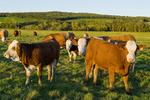 beef cattle grazing on farmland , Tiger Hills, Manitoba, Canada