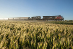 train carrying hopper cars pass a spring wheat field near Dufresne, Manitoba, Canada