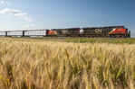 rail cars carrying pulp pass a maturing spring wheat field near Dufresne, Manitoba, Canada