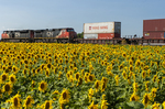 locomotives pulling containers pass a sunflower field, near Winnipeg, Manitoba, Canada