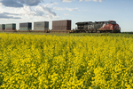 rail cars carrying containers pass a canola field, near Winnipeg, Manitoba, Canada