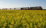 a train passes a bloom stage canola field, near Winnipeg, Manitoba, Canada