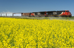 a train passes a canola field, near Winnipeg, Manitoba, Canada