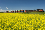 rail cars carrying containers pass a bloom stage canola field, near Winnipeg, Manitoba, Canada