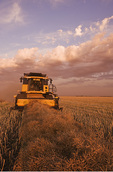 an elderly farmer and his wife harvest their swathed canola crop, near Dugald,  Manitoba, Canada