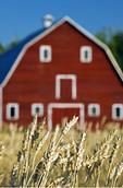 red barn , spring wheat, Grande Pointe,  Manitoba, Canada