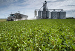 a farm truck  leaves a farmer's inland grain terminal after unloading crop, a field  of soybeans in the foreground, , Niverville, Manitoba, Canada