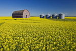 a field of bloom stage canola with an old barn and  grain bins(silos) in the background,  Tiger Hills, Manitoba, Canada