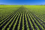 early growth soybean field, near Lorette Manitoba, Canada