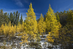 autumn colours on tamarack trees, Duck Mountain Provincial Park, Manitoba, Canada