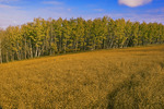 flax field with aspen trees near Theodore, Saskatchewan, Canada