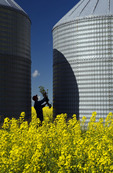 a man looks at bloom stage canola between two grain bins(silos),   Tiger Hills, Manitoba, Canada