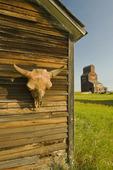 buffalo skull on old building, abandoned town of Bents, Saskatchewan, Canada