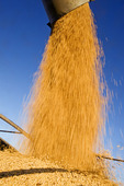 a combine harvester unloads soybeans into a farm truck during the harvest, near Lorette, Manitoba, Canada