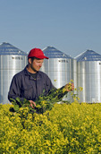 a man looks at his bloom stage canola with grain bins(silos) in the background,  Lorette, Manitoba, Canada