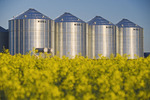 a field of bloom stage canola with grain bins(silos) in the background,  Lorette, Manitoba, Canada