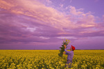 a man looks at bloom stage canola at sunset,  near Dugald, Manitoba, Canada
