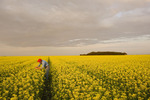 a man looks at a field of bloom stage canola,  near Dugald, Manitoba, Canada