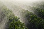 a center pivot irrigation system irrigates potatoes,Tiger Hills, Manitoba, Canada