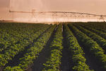 a center pivot irrigation system irrigates potatoes,Tiger Hills, Manitoba, Canada