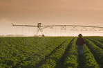 a man walks through a potato field  as a center pivot irrigation system irrigates potatoes,Tiger Hills, Manitoba, Canada