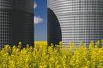 a field of bloom stage canola with grain bins(silos),  Tiger Hills, Manitoba, Canada