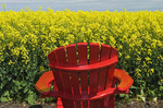 red chair in front of a bloom stage canola field,  Tiger Hills, Manitoba, Canada