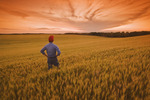 a man looks out over a field of maturing wheat, near Treherne, Manitoba, Canada