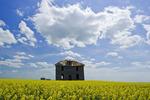 abandoned farm house in canola field with cumulus clouds in the sky, near Torquay, Saskatchewan, Canada