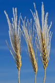 close-up of wheat covered with frost, near Beausejour, Manitoba, Canada