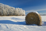 straw rolls and trees filled with hoarfrost near Beausejour, Manitoba, Canada