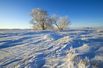 canola stubble in field with frost covered  tree,near Dugald, Manitoba, Canada