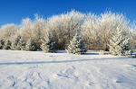 frost covered trees in shelter belt,near Dugald, Manitoba, Canada