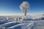 oat stubble in field with frost covered cottonwood tree,near Dugald, Manitoba, Canada