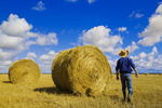 a man walks out over a field of grain stubble and straw rolls/ sky with  cumulus clouds in the background, near Carey, Manitoba ,Canada