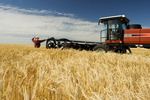 a man views harvest ready barley being swathed neat Treherne, Manitoba, Canada